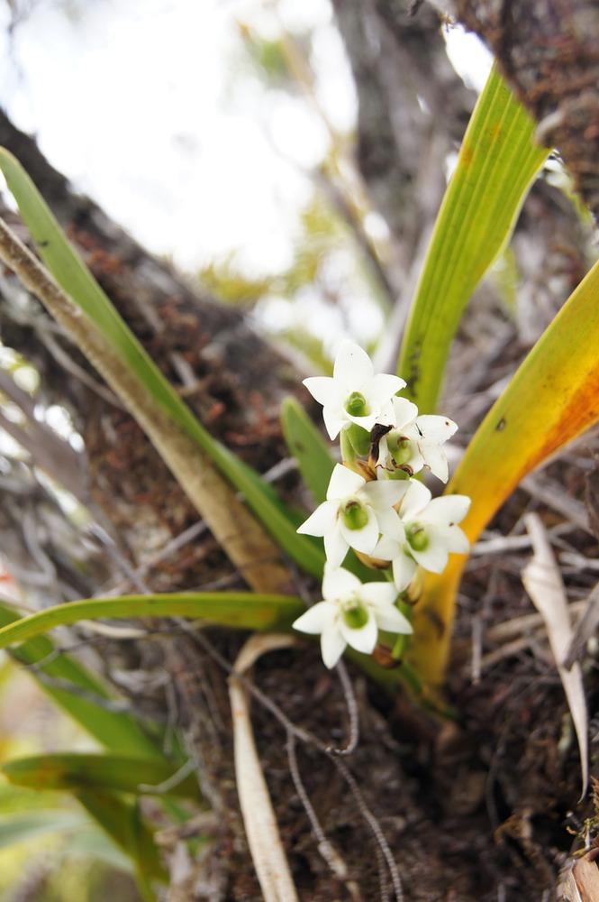 Résultats de recherche d'images pour «orchidée muguet réunion»
