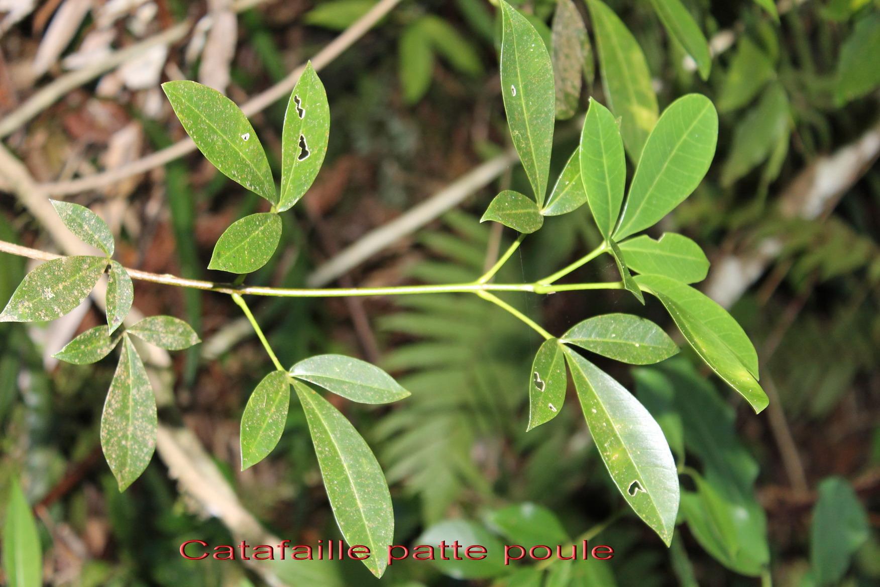 catafaille patte poule melicope obtusifolia rutac e b une s lection d arbres arbustes. Black Bedroom Furniture Sets. Home Design Ideas