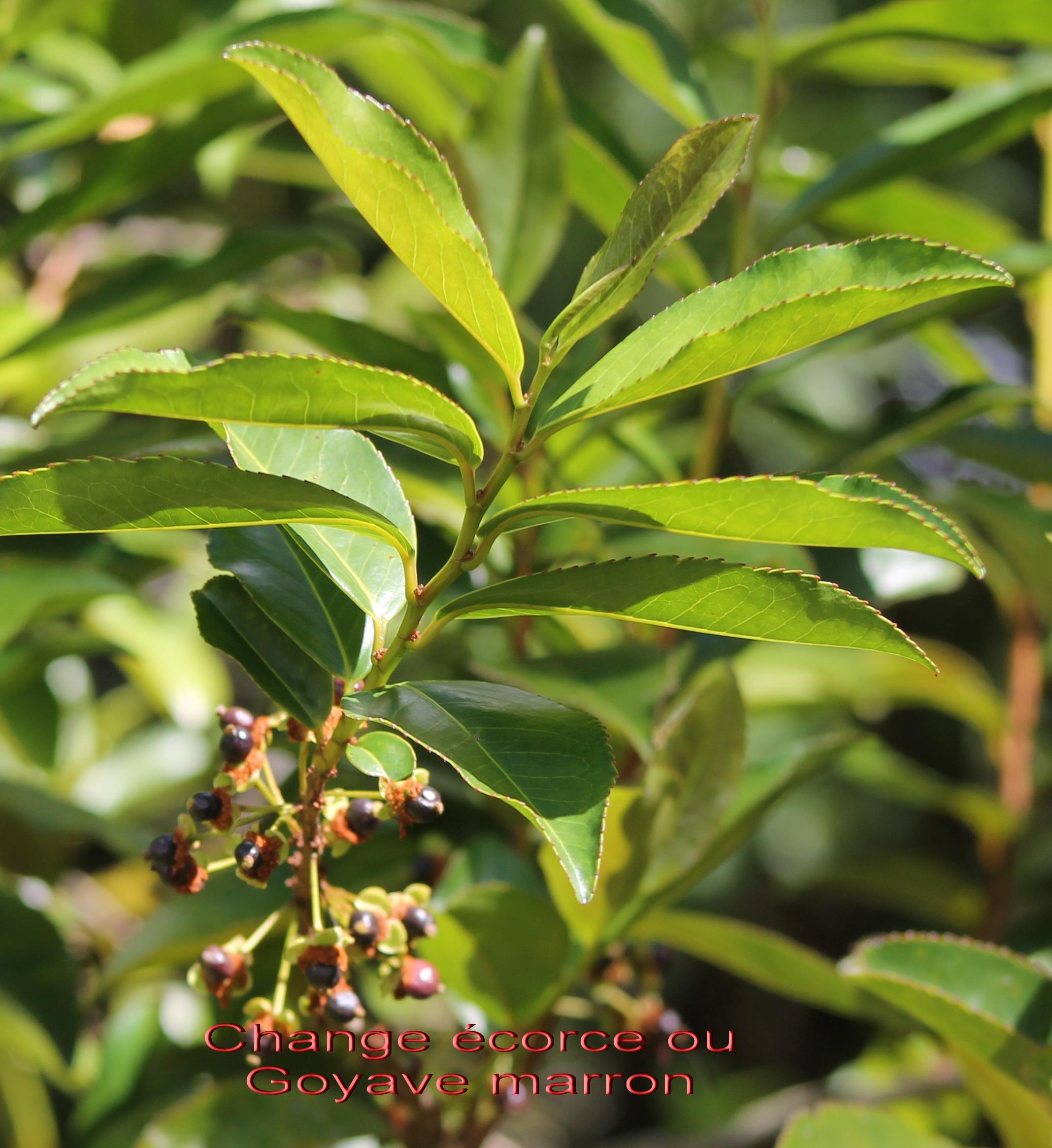 Change corce ou goyave marron aphloia theiformis aphloiac e i une s lection d arbres - Feuille de goyave acheter ...